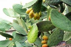 kłująca opuntia kaktusowa bonkreta fotografia royalty free