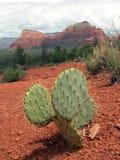 kłująca opuntia kaktusowa bonkreta Zdjęcie Royalty Free