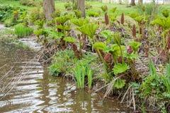 Kłująca Rabarbarowa pobliska woda Fotografia Stock