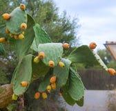 Kłujące Bonkret Kaktusa owoc Fotografia Stock