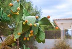 Kłujące Bonkret Kaktusa owoc Obraz Stock