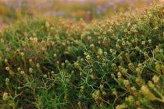 Kłujące kolor żółty rośliny na zieleni pola śliczna ogrodzeń domów wzoru tapeta Zdjęcie Stock