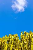 kłujące owoc kaktusowe bonkrety Zdjęcia Stock