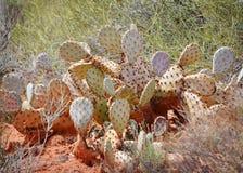 Kłującej bonkrety kaktus Obrazy Royalty Free