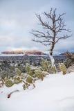 Kłującej bonkrety kaktus dziwnie zakopujący w śniegu blisko Sedona zdjęcia stock