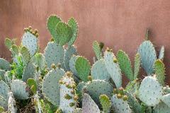 Kłującej bonkrety kaktus przeciw sztukateryjnej pomarańcze ścianie Fotografia Royalty Free