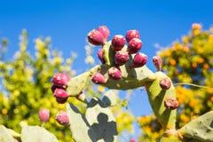 Kłującej bonkrety kaktus z owoc Fotografia Royalty Free
