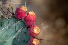 Kłującej bonkrety kaktus z owoc, kręgosłupa tło obraz stock