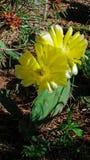 Kłującej bonkrety kaktus z pełnym jaskrawym kolorem żółtym Kwitnie fotografia stock