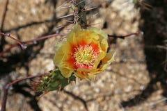 Kłującej bonkrety kaktusa kwiat Obrazy Royalty Free