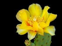 Kłującej bonkrety kaktusa kwiat - delikatni żółci płatki nad czernią Zdjęcie Stock