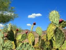 Kłującej bonkrety kaktusa owoc Zdjęcie Stock