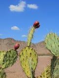 Kłującej bonkrety kaktusa owoc Zdjęcia Royalty Free