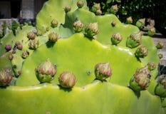 Kłującej bonkrety kaktusa pączki Obrazy Stock