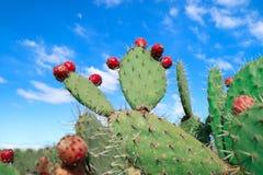 Kłującej bonkrety kaktusa zakończenie up z owoc w czerwonym kolorze zdjęcia stock