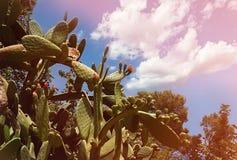 Kłującej bonkrety kaktusa zakończenie up z owoc w czerwonym kolorze, kaktusowi kręgosłupy stonowany obraz stock