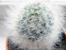 Kłujący i owłosiony kaktus Obraz Stock
