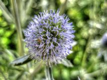 Kłujący kwiat Fotografia Stock