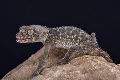 Kłujący ogoniasty gekon, Nephrurus asper zdjęcia stock