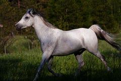 Kłusować koń Obraz Stock