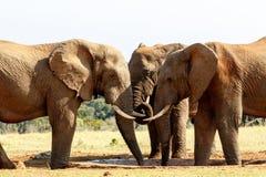Kły - afrykanina Bush słoń Obraz Royalty Free