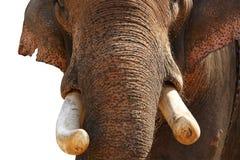 Kły Słonia Azjata lub Indianin, fotografia stock