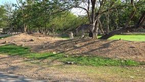 4k一匹斑马的特写镜头在游览游客旅行徒步旅行队期间的 影视素材
