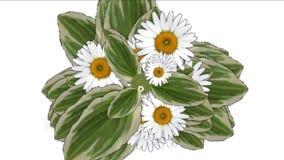 4k三叶草绽放雏菊花植物植被叶片背景 向量例证