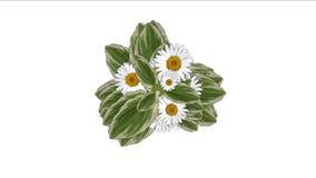 4k三叶草绽放雏菊花植物植被叶片背景 库存例证