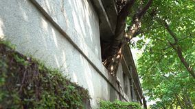 4K与绿色叶子的大树在老房子丝毫crackes的窗口里增长 股票录像