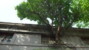 4K与绿色叶子的大树在老房子丝毫crackes的窗口里增长 股票视频