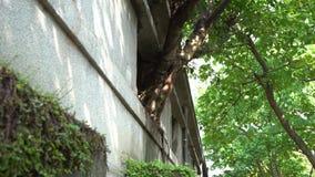 4K与绿色叶子的大树在老房子丝毫crackes的窗口里增长 影视素材
