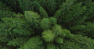 4k云杉的树森林鸟瞰图晚夏-概念性的环境 股票录像