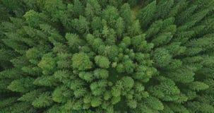 4k云杉的树森林鸟瞰图晚夏-概念性的环境 股票视频
