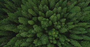 4k云杉的树森林鸟瞰图晚夏-概念性的环境 影视素材