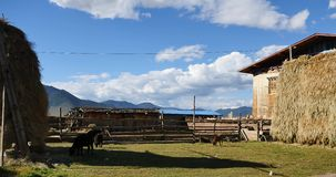 4k冬天饲料&母牛在西藏房子&庭院,在天空的白色云彩里 影视素材
