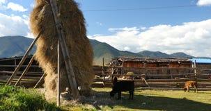 4k冬天饲料&母牛在西藏房子&庭院,在天空的白色云彩里 股票录像