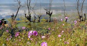 4k变粉红色波斯菊bipinnatus,凋枯在水中,山&云彩在湖反射 股票视频