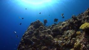 4k在珊瑚礁的丑角sweetlips 影视素材