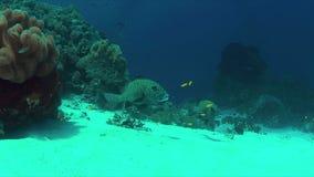 4k在珊瑚礁的丑角sweetlips 股票录像