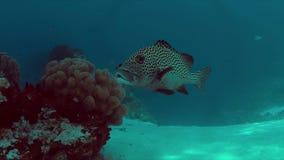 4k在珊瑚礁的丑角sweetlips 股票视频
