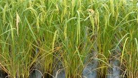 4K在绿色新鲜的米的雨下落在与环境噪声的米领域 股票录像