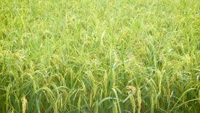 4K在绿色新鲜的米的雨下落在与环境噪声的米领域 股票视频