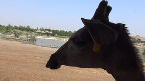 4k头的特写镜头在徒步旅行队世界动物园曼谷,泰国的长颈鹿 影视素材