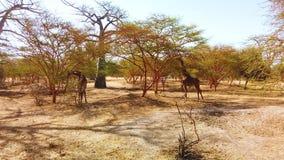 4K小组录影长颈鹿在国立公园在非洲,塞内加尔 这是在大草原的野生生物动物在徒步旅行队 股票视频