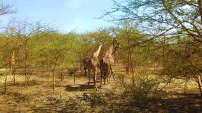 4K小组录影长颈鹿在国立公园在非洲 股票录像