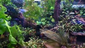 4K小组霓虹主要鱼和其他四鱼在被种植的水族馆 影视素材