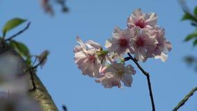 4K开花的樱桃分支美妙的特写镜头  美丽的开花的佐仓 股票视频