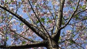 4K开花的樱桃分支美妙的特写镜头  美丽的开花的佐仓 影视素材