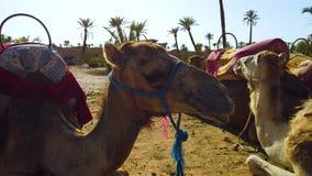 4K录影关闭与马鞍的骆驼在巴巴里人样式 动物在撒哈拉大沙漠的沙子的一个棕榈树丛里在 股票录像